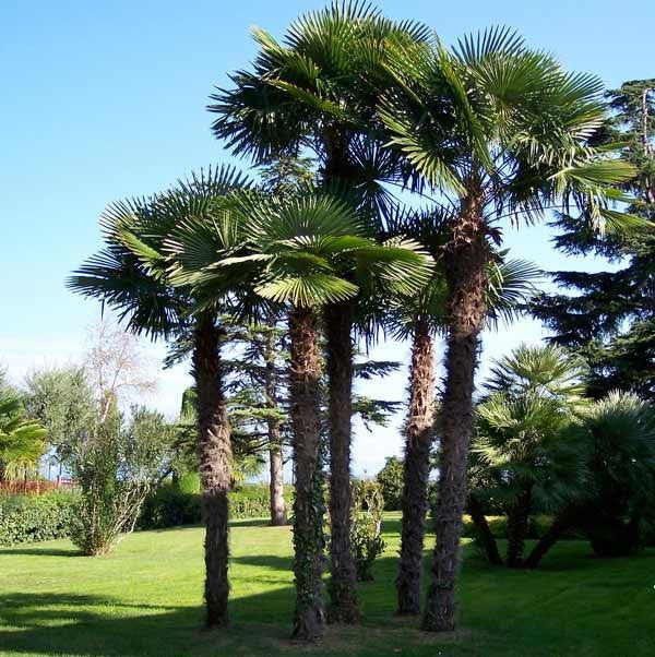 Chinese Windmill Palm - Chusan Palm - Trachycarpus Fortunei  - Exotic Palm - 5 Seeds