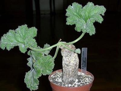 Pelargonium Lobatum - Vine Leaf Pelargonium - Indigenous South African Shrub - 5 Seeds