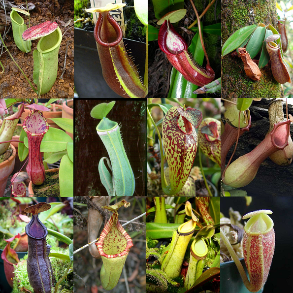 Nepenthes mixed species - Monkey Cups - Tropical Pitcher Plant - Carnivorous Plant - 10 Seeds