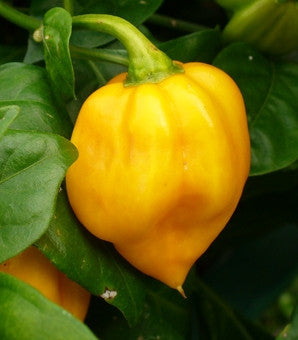 Jamaican Yellow Scotch Bonnet - Capsicum Chinense - Chilli Pepper - 10 Seeds