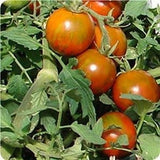 Rambling Red Stripe - Container Tomato - Trailing Vine - Lycopersicon Esculentum - 5 Seeds