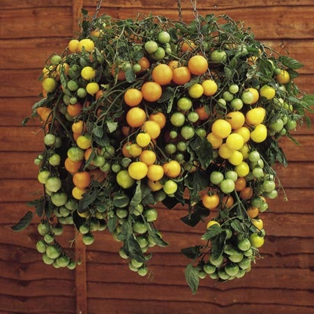 Tumbling Tom Yellow Tomato - Trailing Vine - Container - Lycopersicon Esculentum - 5 Seeds
