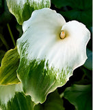Zantedeschia Aethiopica Green Goddess - Indigenous South African Bulb - 5 Seeds