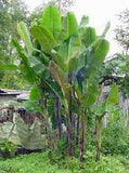Musa Sikkimensis - Darjeeling Banana - Ornamental Fruit - 5 Seeds