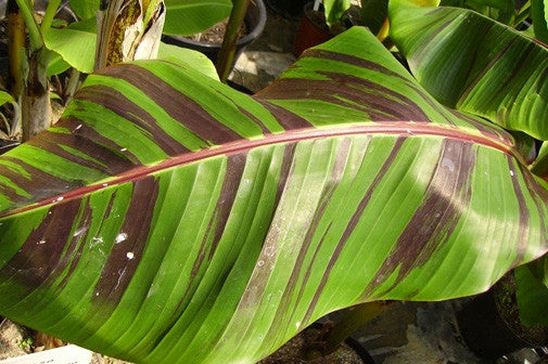 Musa Sikkimensis Red Tiger - Red Tiger Darjeeling Banana - Ornamental Fruit - 5 Seeds