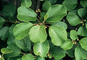 Kiwi Fruit - Actinidia deliciosa - Exotic Fruit Vine - 20 Seeds