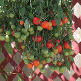 Tumbling Tom Red Tomato - Trailing Vine - Container - Lycopersicon Esculentum - 5 Seeds