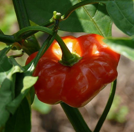Brazilian Starfish Chilli Pepper - Capsicum Baccatum - 5 Seeds