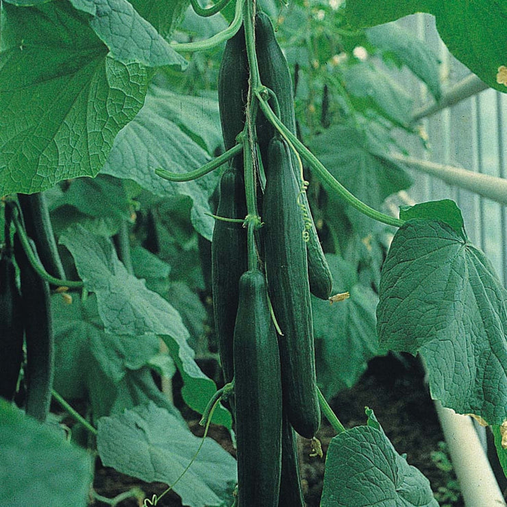 English Cucumber - Trimax F1 Hybrid - Cucumis Sativus - 3 Seeds