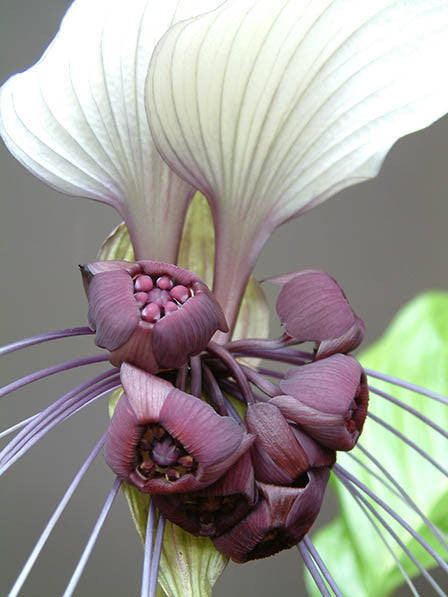White Bat Flower - Tacca Integrifolia - Exotic Chinese Bulb Seeds - White Devil Flower - 5 Seeds
