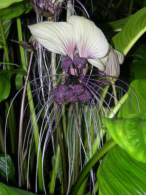 White Bat Flower Tacca Integrifolia Exotic Chinese Bulb Seeds