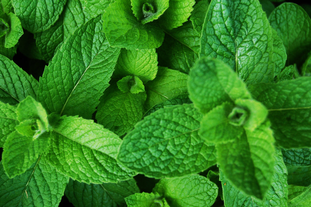 Green Mint - Mentha Viridis - Culinary Edible Herb - 50 Seeds