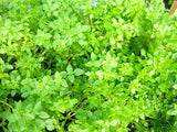 Aristotle Greek Bush Basil - Herb - 10 Seeds