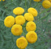 Tansy - Tanacetum Vulgare - Herb - 500 Seeds
