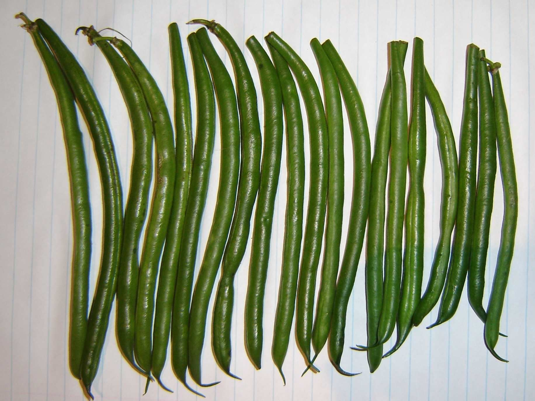 "Bush Beans ""Makatini"" - Phaseolus Vulgaris - 20 Seeds"