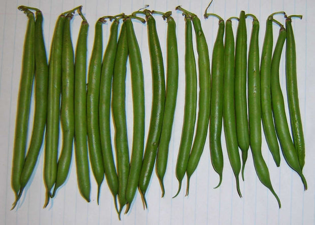 "Bush Beans ""Malelane"" - Phaseolus Vulgaris - 20 Seeds"