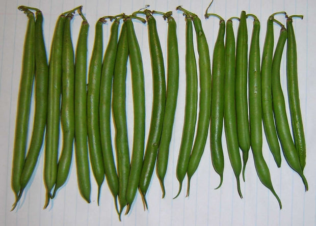 Malelane Bush Beans - Bulk Vegetable Seeds