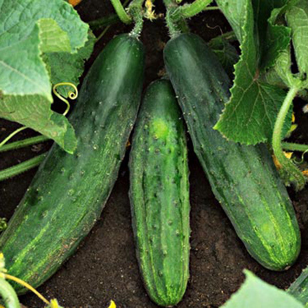 Patio Snacker Cucumber - Cucumis Sativus - 5 Seeds