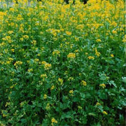 Yellow Mustard - Heirloom Vegetable - 200 Seeds