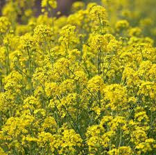 Yellow Mustard - Bulk Vegetable Seeds - 100 grams