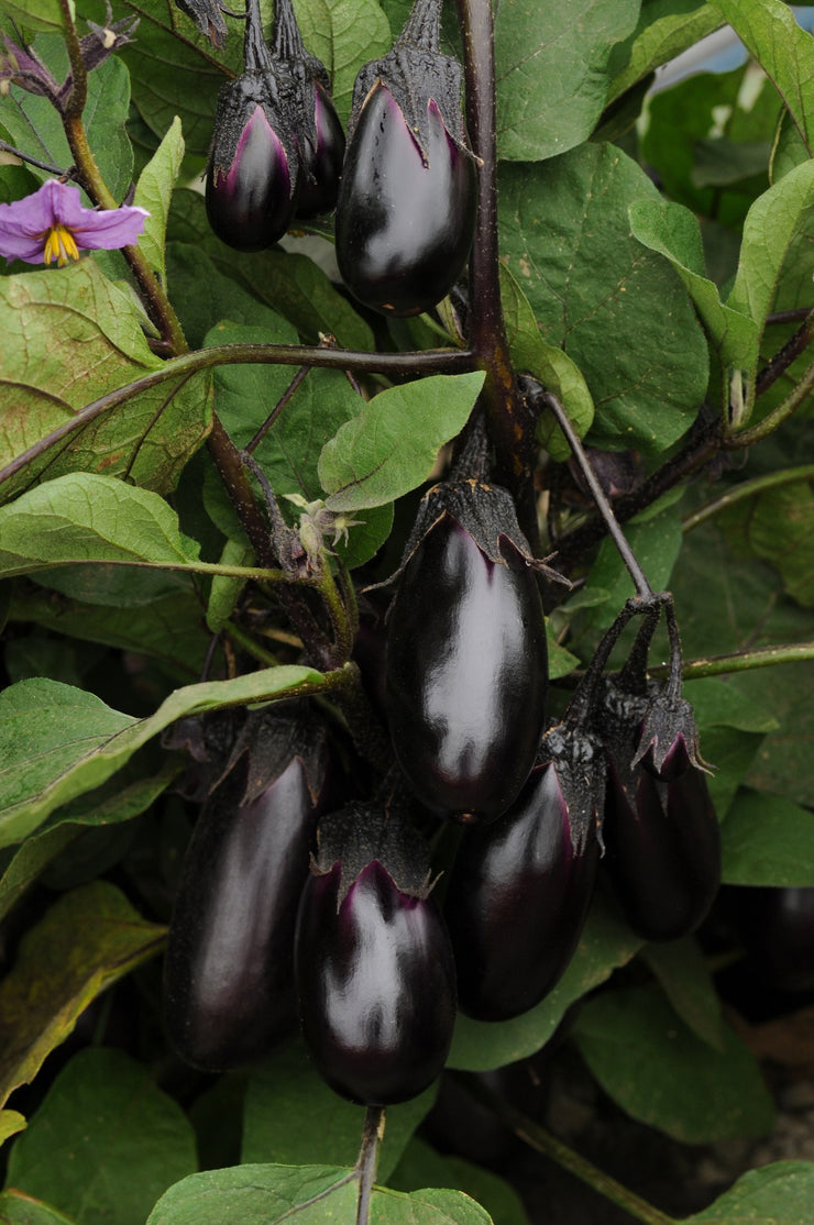Patio Baby Eggplant - Solanum melongena - 5 Seeds - The Patio Vegetable Collection