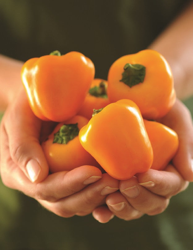 Cute Stuff Gold Mini Bell Pepper - Capsicum Annuum - 5 Seeds - The Patio Vegetable Collection