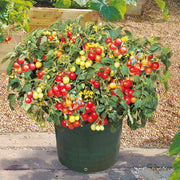 Tumbler Tomato - Container Hanging Basket Trailing Tomato - Lycopersicon Esculentum - 5 Seeds