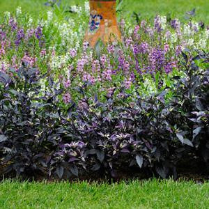 Purple Flash Chilli Pepper - Ornamental - Capsicum Annuum - 5 Seeds