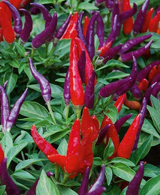 Sangria Chilli Pepper - Ornamental - Capsicum Annuum - 5 Seeds