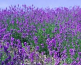 Corporate Gifting Seeds - Lavender - True Lavender - Flowering Herb Seeds
