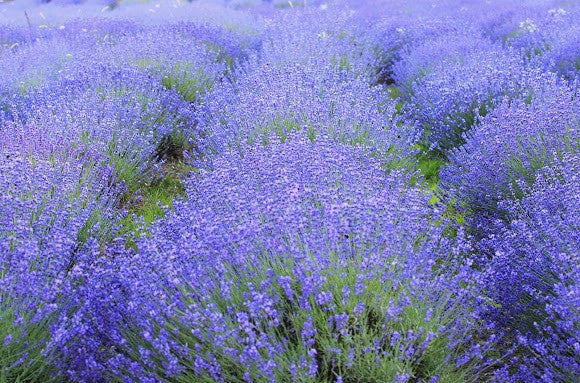 Wedding Favour Seeds - Lavender - True Lavender - Flowering Herb Seeds