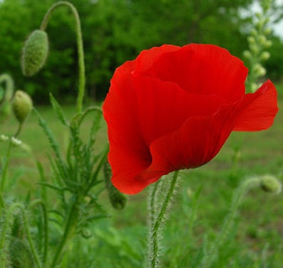 Flanders Poppy - Bulk Flower Seeds
