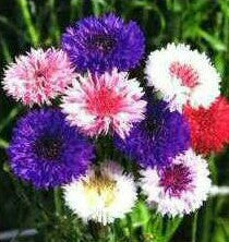 Cornflower Polka Dot Mix - Bulk Flower Seeds