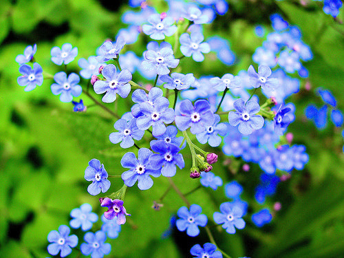 Forget Me Not Blue - Bulk Flower Seeds