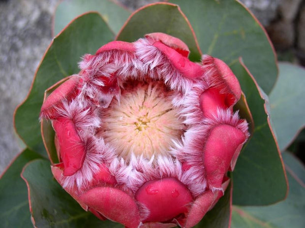 Protea Grandiceps - Princess Protea - Indigenous South African Protea - 5 Seeds