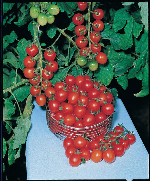 Gardeners Delight Cherry Tomato - Lycopersicon Esculentum - Cherry Tomatoes - 10 Seeds