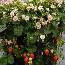 Roman F1 Strawberry - Bulk Fruit / Berry Seeds - 100 Seeds