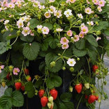 Roman F1 Strawberry - Fragaria - Easy to grow Container Strawberry - Fruit - 5 Seeds