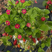 Tarpan F1 Strawberry - Fragaria - Easy to grow Container Strawberry - Fruit - 5 Seeds