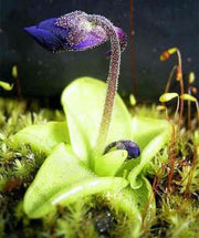 Pinguicula grandiflora - Large Flowered Butterwort - Exotic Carnivorous Plant - 5 Seeds