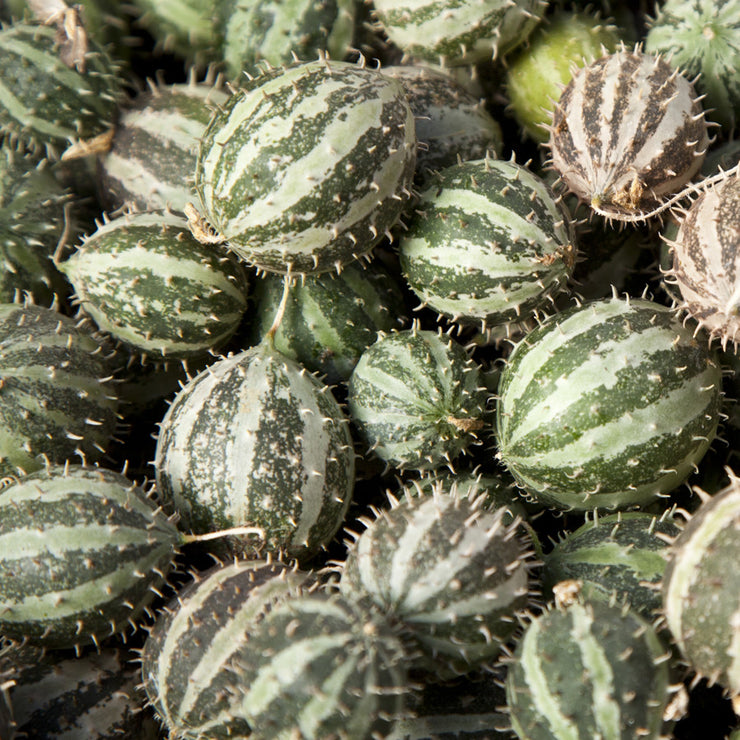 Cucumis myriocarpus - Paddy Melon - Indigenous South African Vine - 10 Seeds