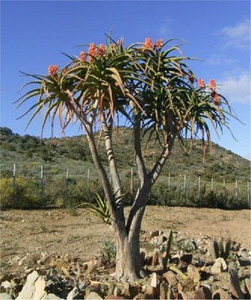 Wedding Favour Seeds - Tree Aloe - Aloe Barberae - Indigenous South African Succulent Tree Aloe