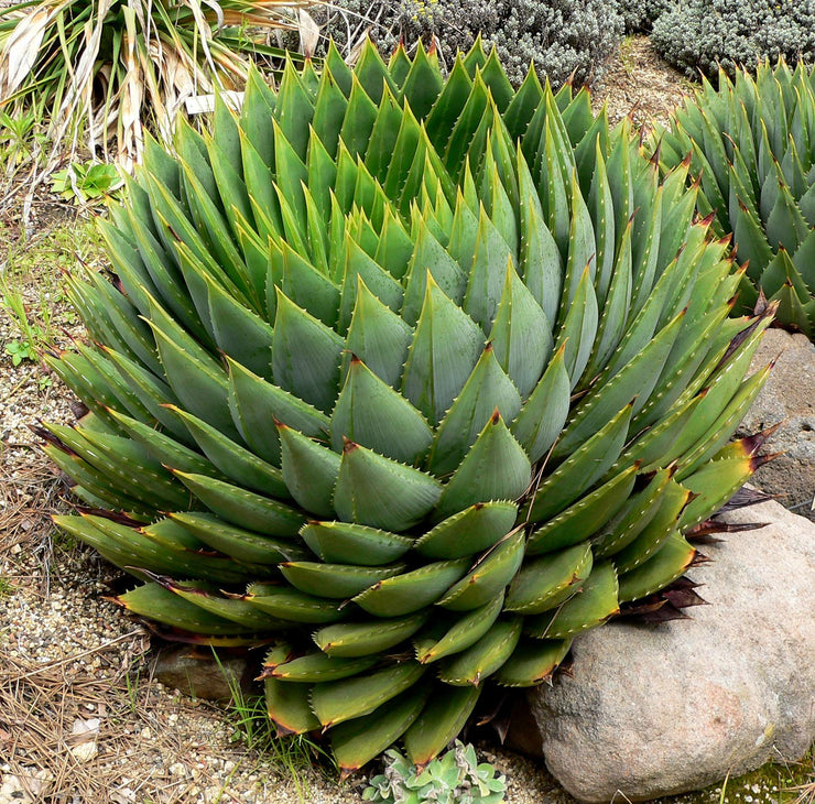 Aloe Polyphylla - African Spiral Aloe - Lesotho Succulent - Seeds