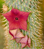 Hoodia Gordonii - Rare Indigenous South African Succulent - 5 Seeds