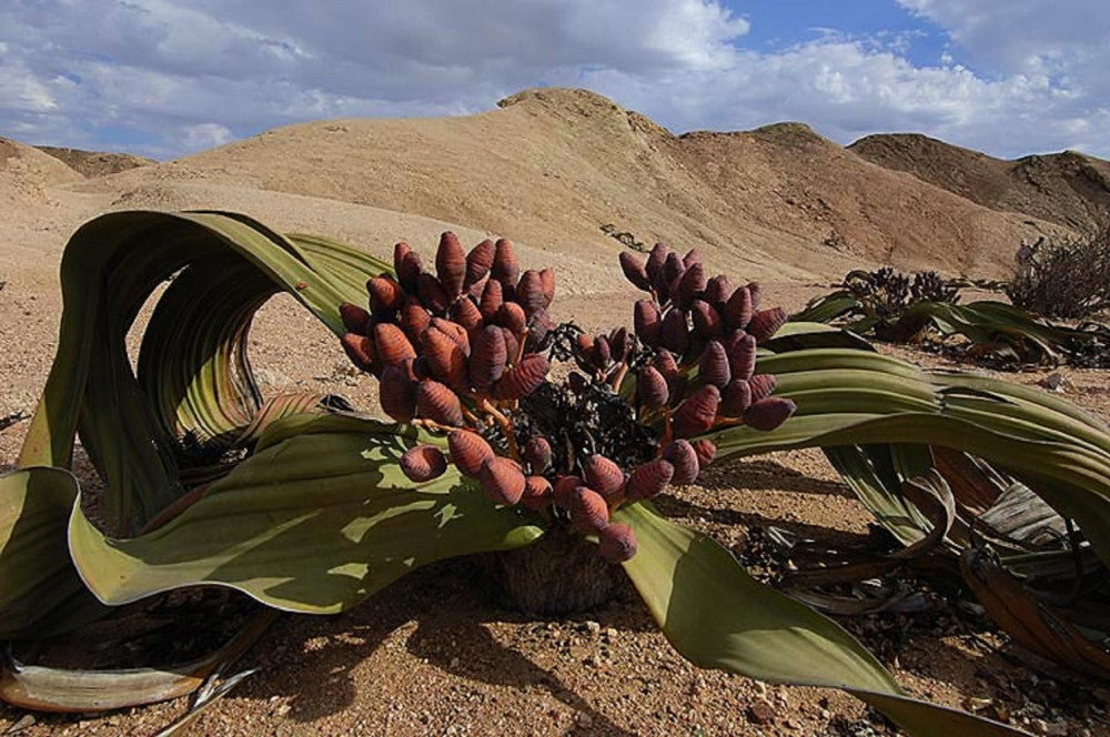 Welwitschia Mirabilis - Rare Namibian Succulent - Grows over 2000 Years Old
