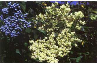 Blue Elderberry Exotic Fruit Tree - Sambucus cerulea - 5 Seeds