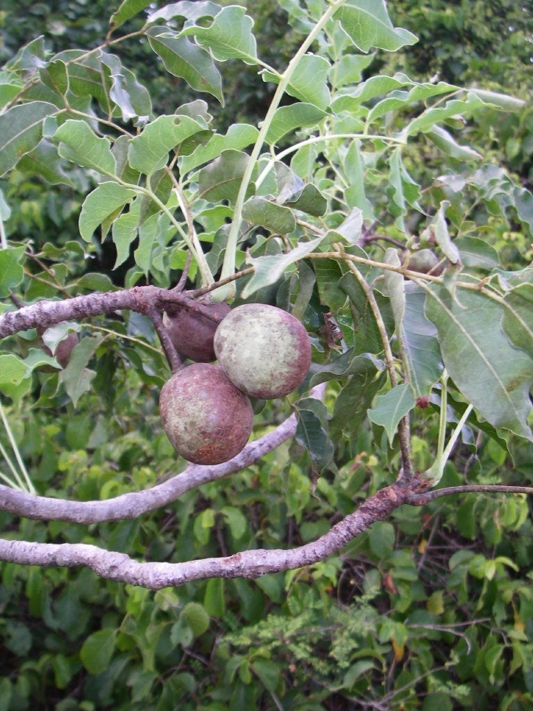 Corporate Gifting Seeds - Marula Tree - Sclerocarya Birrea Caffra - Indigenous South African Tree