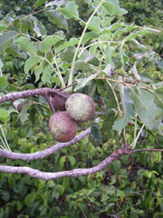 Wedding Favour Seeds - Marula Tree - Sclerocarya Birrea Caffra - Indigenous South African Tree
