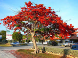 Corporate Gifting Seeds - Flamboyant Tree / Royal Poinciana - Delonix Regia - Indigenous African Tree