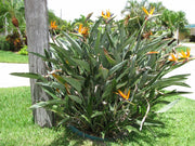 Wedding Favour Seeds - Bird of Paradise - Strelitzia Reginae - Indigenous South African Shrub